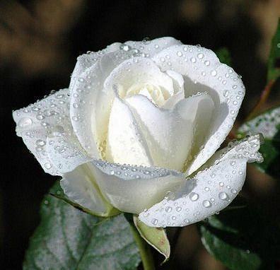 Libra White Rose Purity