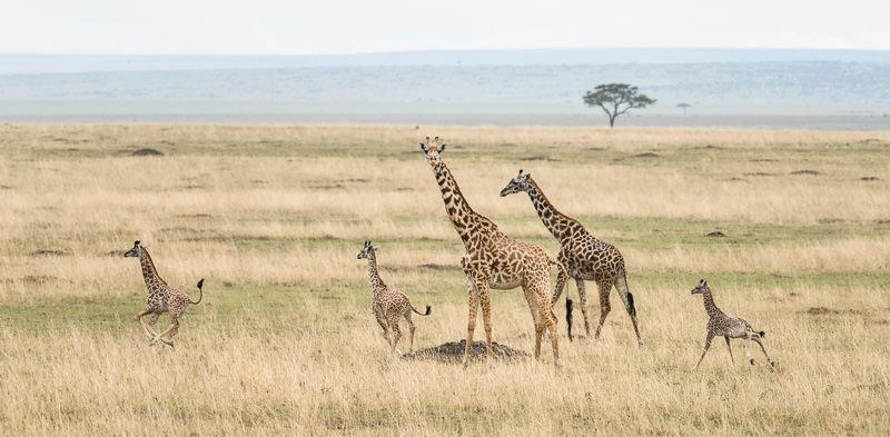 Sagittarius Maasai Giraffe Family Matt Wicks