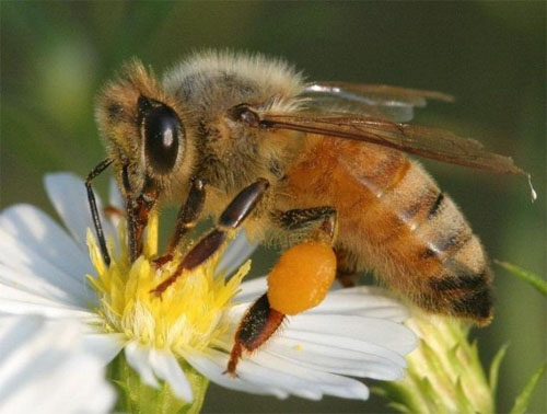 North Carolina's state insect is our pollinator the Honeybee!