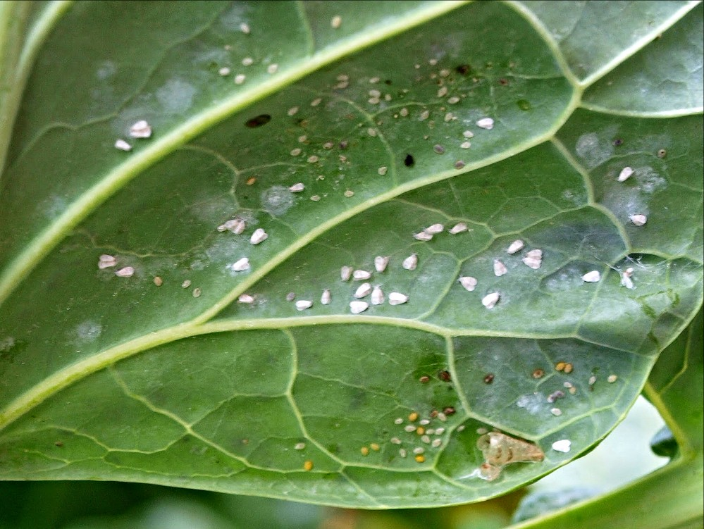 Insect Whitefly
