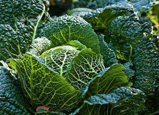 Cabbage Savoy Frost Tolerant