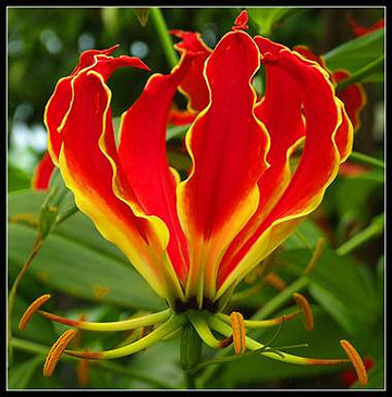 Fire, Flame Lily, Gloriosa!  Aries Lights the Way!