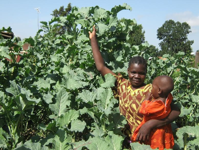 Tree Collards from Africa grow well in Southern California!