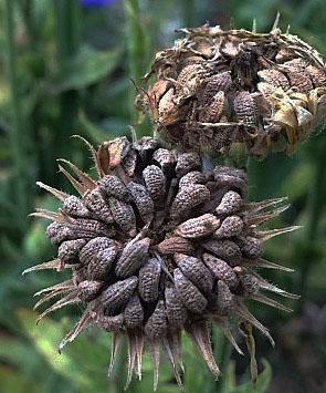 Calendula Seed Heads