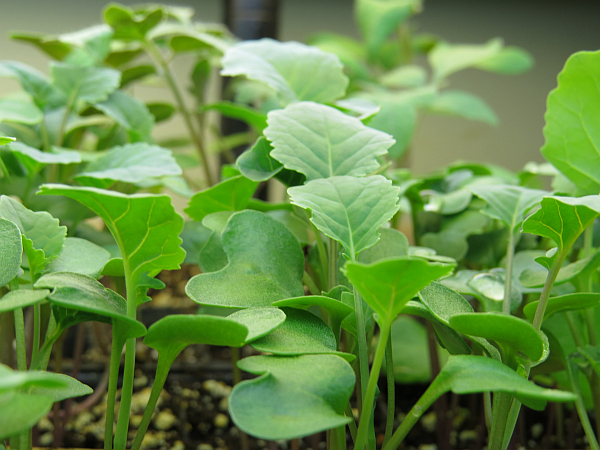 Diplomat broccoli seedlings