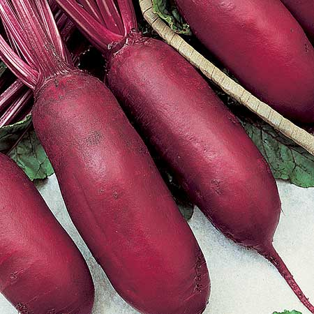 Cylindra is a Long type Winter Beet