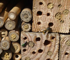 Solitary Bees nesting in 4X4s and Bamboo