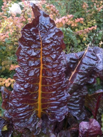 Purple leaved Chard! Gold ribs, savoyed. Super nutritious!
