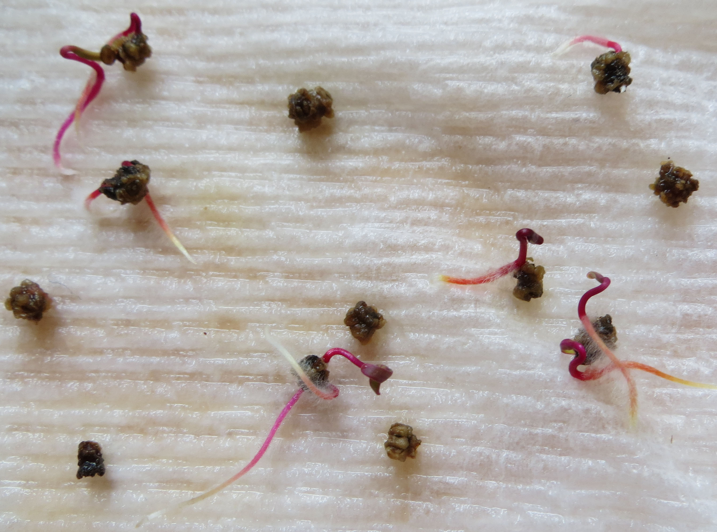 Beet seeds are clusters of seeds in a single fruit.