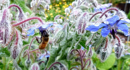 Borage is a lovely winter herb with Blue flowers that bees love, their favorite color!
