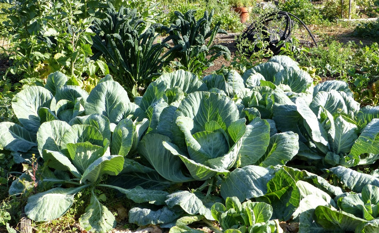 Monster Huge Cabbages Cunningham Family Pilgrim Terrace Community Garden 2016