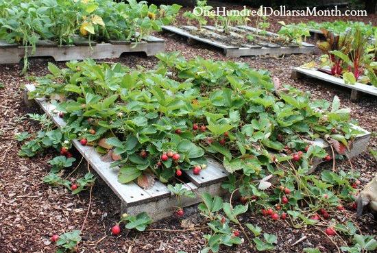 Pallet Garden Strawberries!