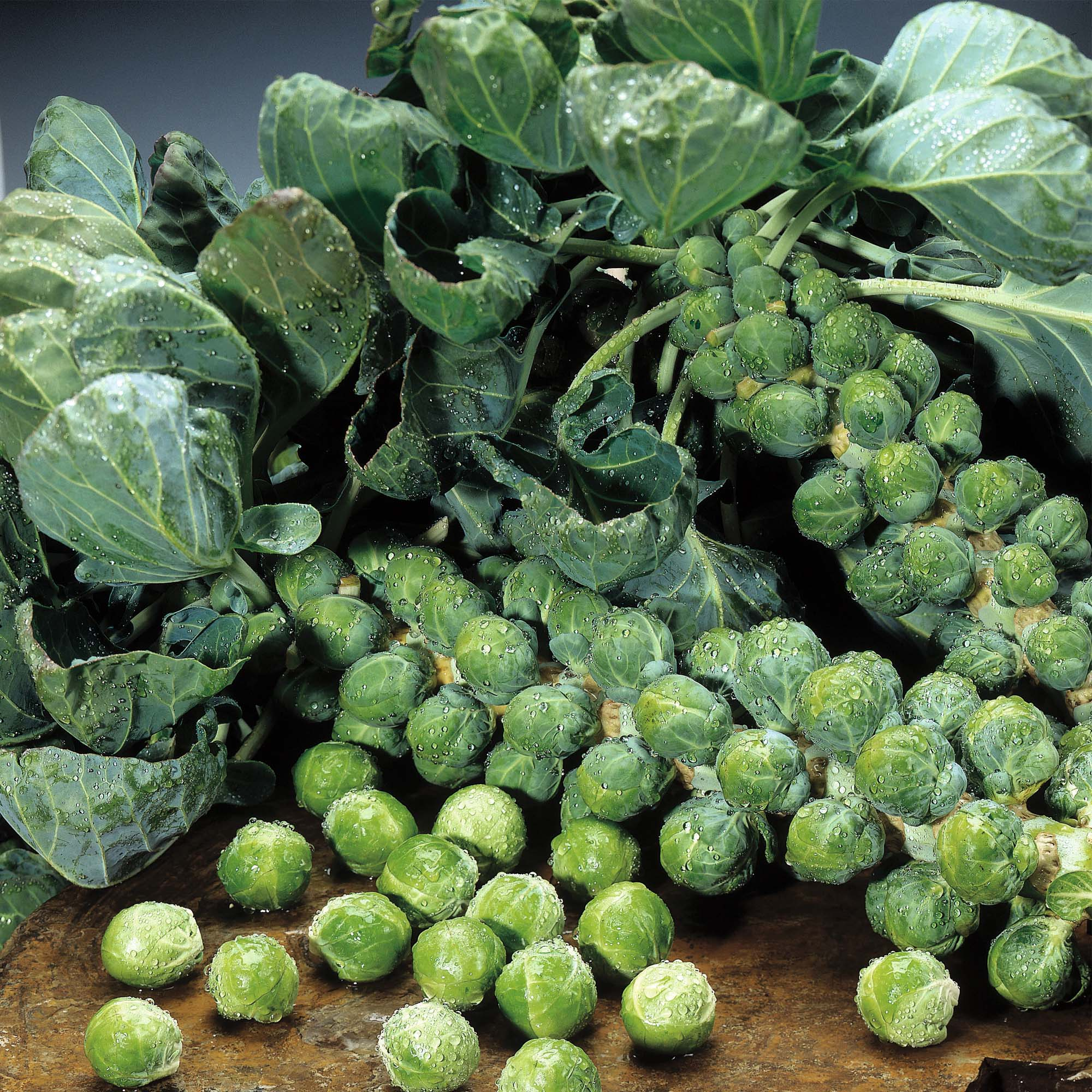 Brussels Sprouts Stalks Brassica Cabbage Anti Cancer