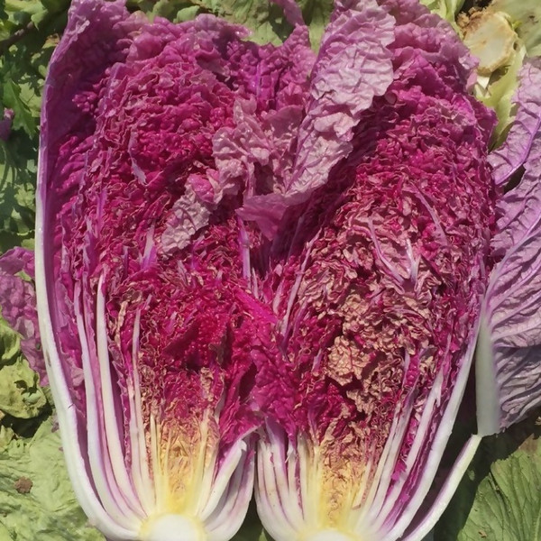 Cabbage Chinese Napa Scarlette F1 Red