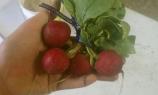 big radishes