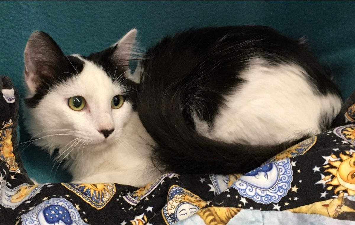 Adoptable Cat - Charlie