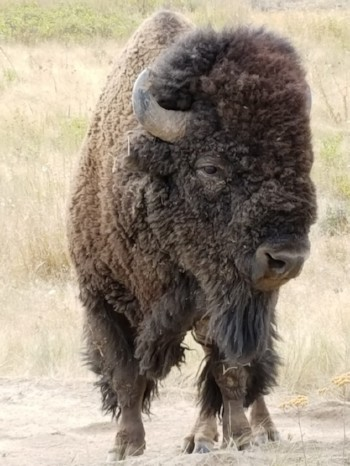 National Bison Range Tours with Montana Adventure Shuttle