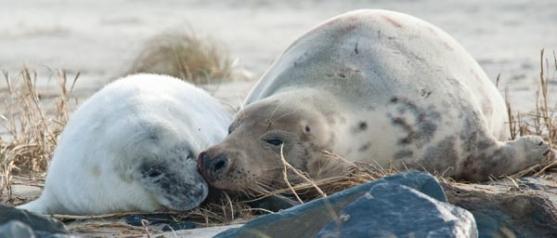 Zeehonden op Vlieland