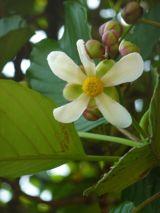 Mangosteen Flower