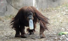 Sally the orangutan walks while holding a bottle in her mouth