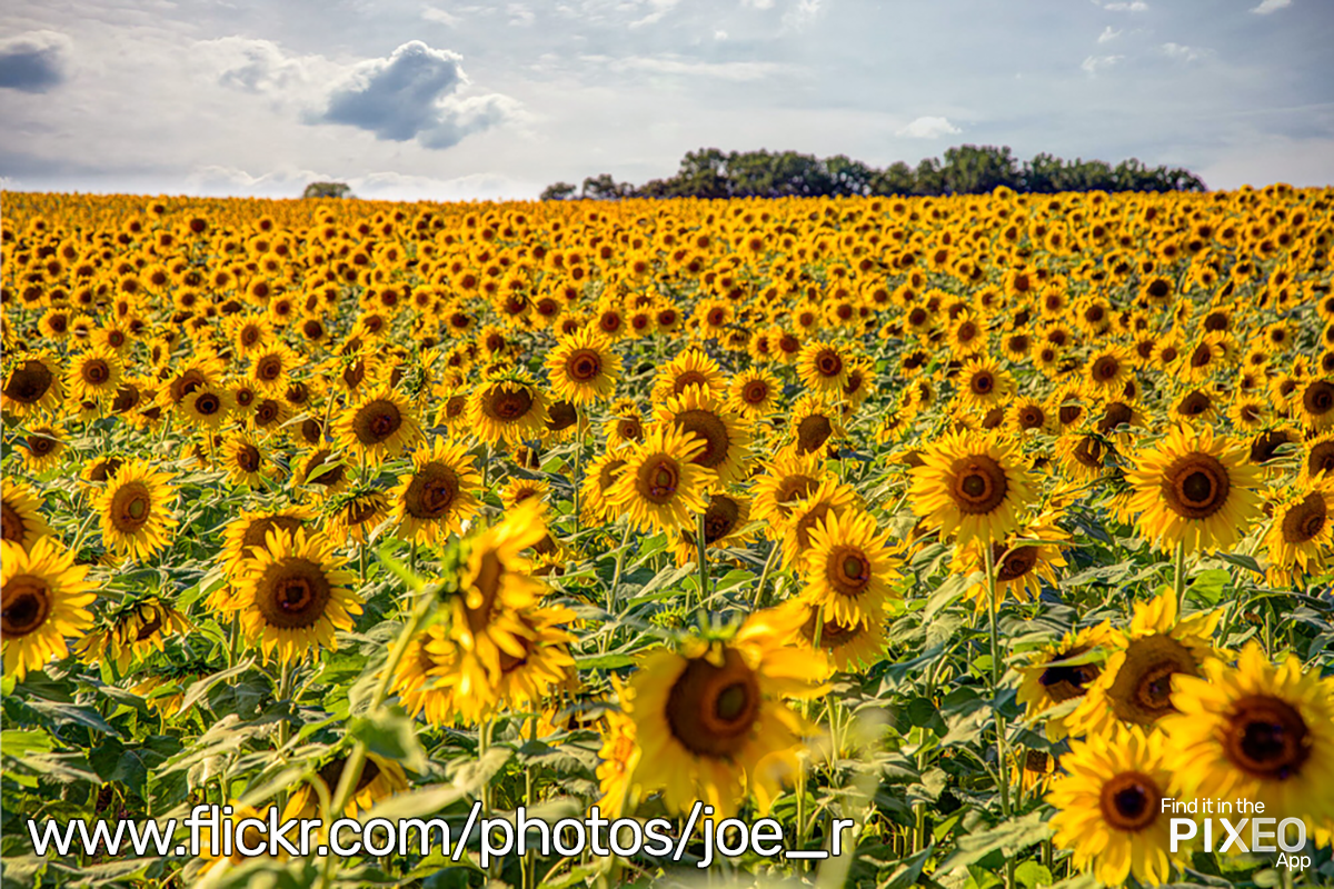Clear Meadows Farms Field of Sunflowers by Joe Russo