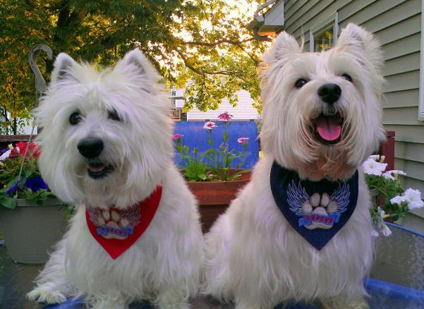 Brodie and Charlie wearing Rescue Paw Bandanas