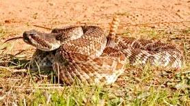 Rattlesnakes are abundant in San Diego