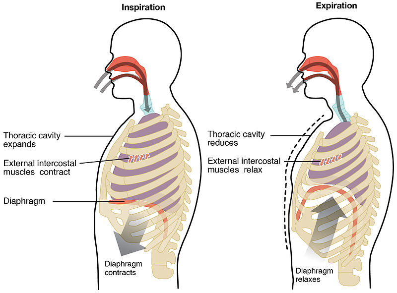Diagram of Diaphragmatic breathing for better stress control
