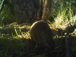 The RRRC Southern Brown Bandicoot
