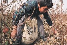 Dětská práce na bavlníkových plantážích v Uzbekistánu