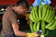 peruánský dělník sklízející banány