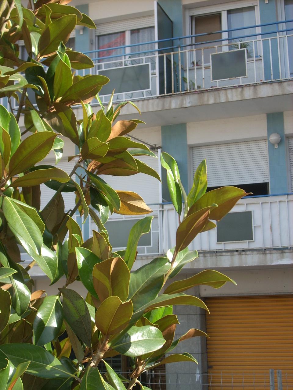 Magnolia a la Plaça de les Tortugues
