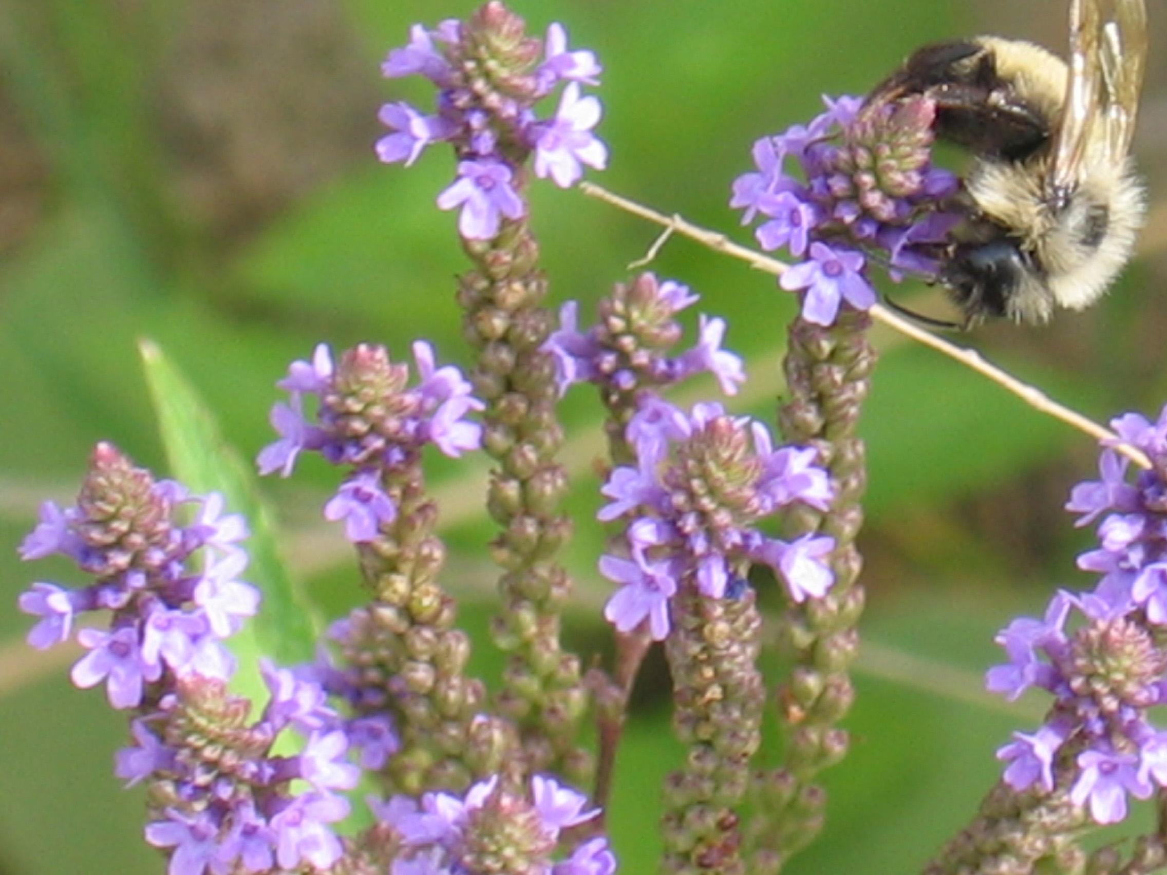 Honey bee on native butter fly-weed photo by KRISTIN FAUXTEW
