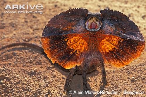 Frilled lizard (c) Alain Mafart Renodier / Biosphoto.
