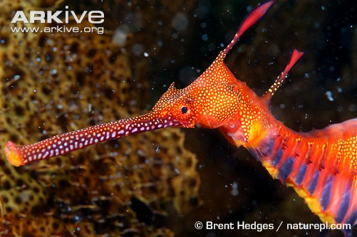 Weedy seadragon (c) Brent Hedges / naturepl.com