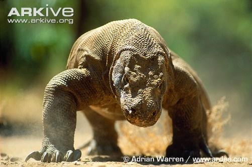 Komodo dragon (c) Adrian Warren / www.ardea.com