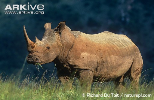 White rhinoceros (c) Richard Du Toit / naturepl.com