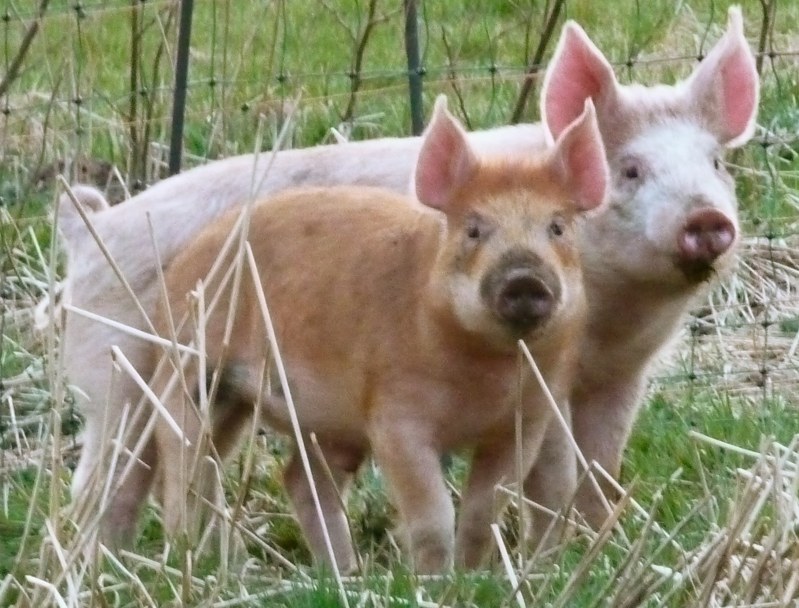 piglets Rusty and Dusty