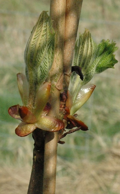 tree buds in shoot