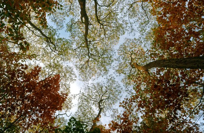 A view of autumn treetops from below