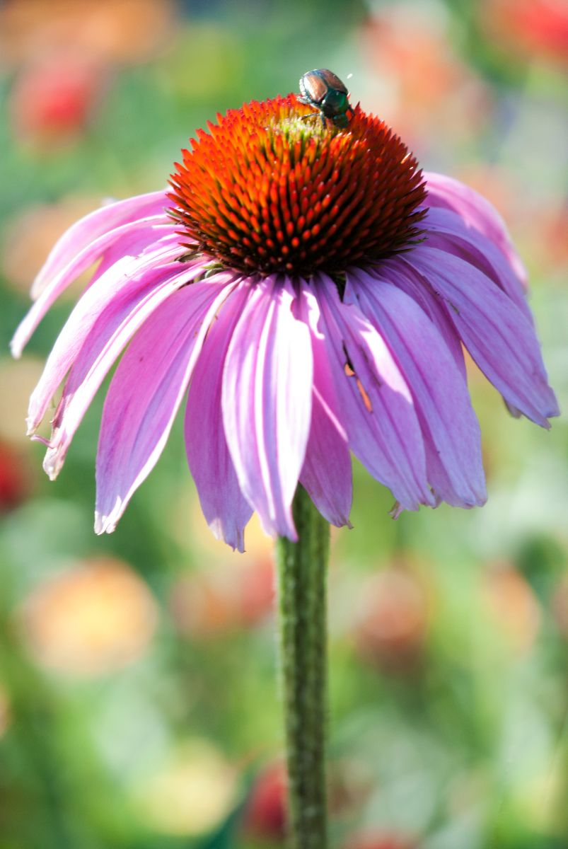 How to Control Coneflower Pests