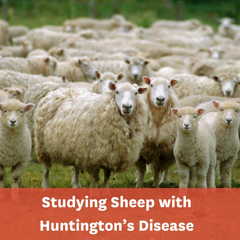 Studying sheep with Huntingtons Disease