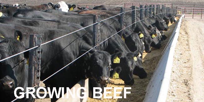 Growing Beef Newsletter