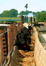 Newly arrived calves at feed bunk