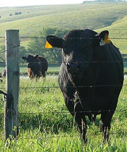 Bull in pasture