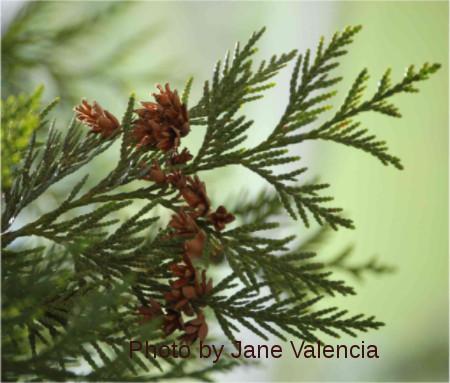 Red Cedar - photo
