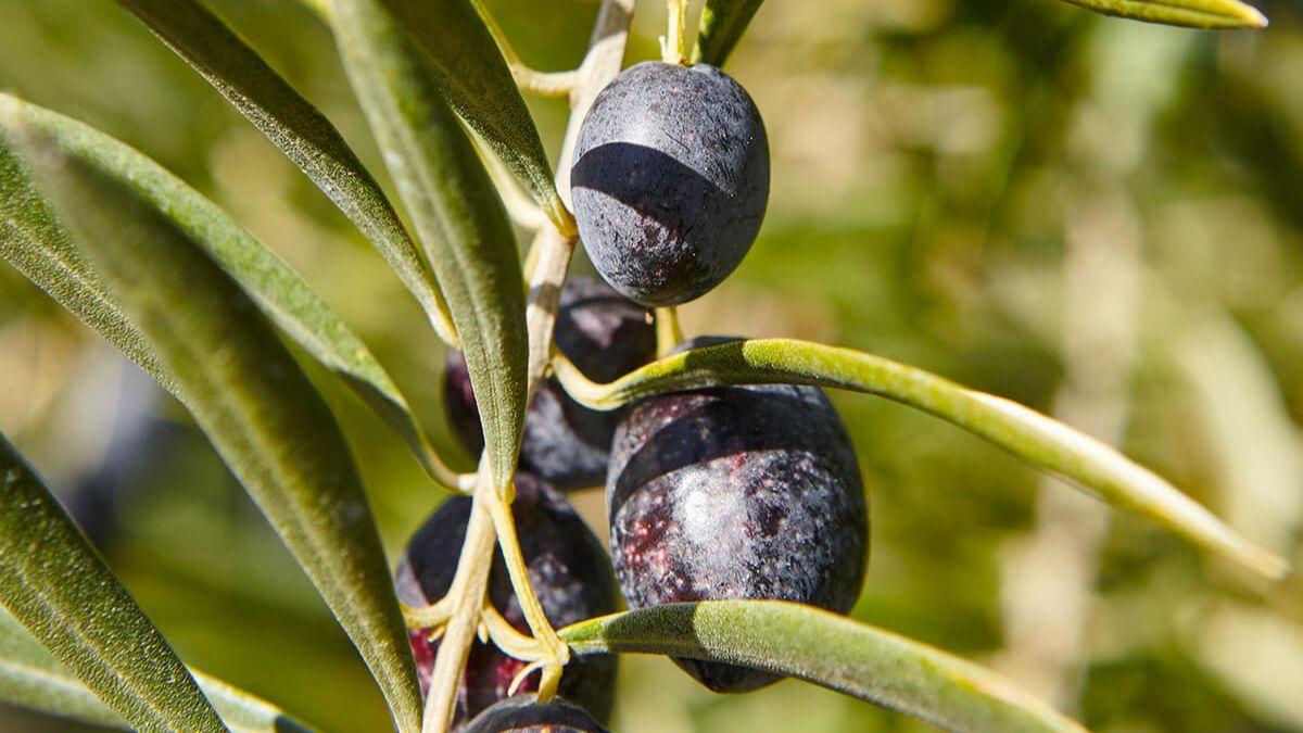 Куркума Аквасорс с бромелаин, джинджифил и маслинови листа 6
