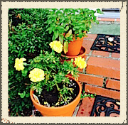 Marigolds and Mint