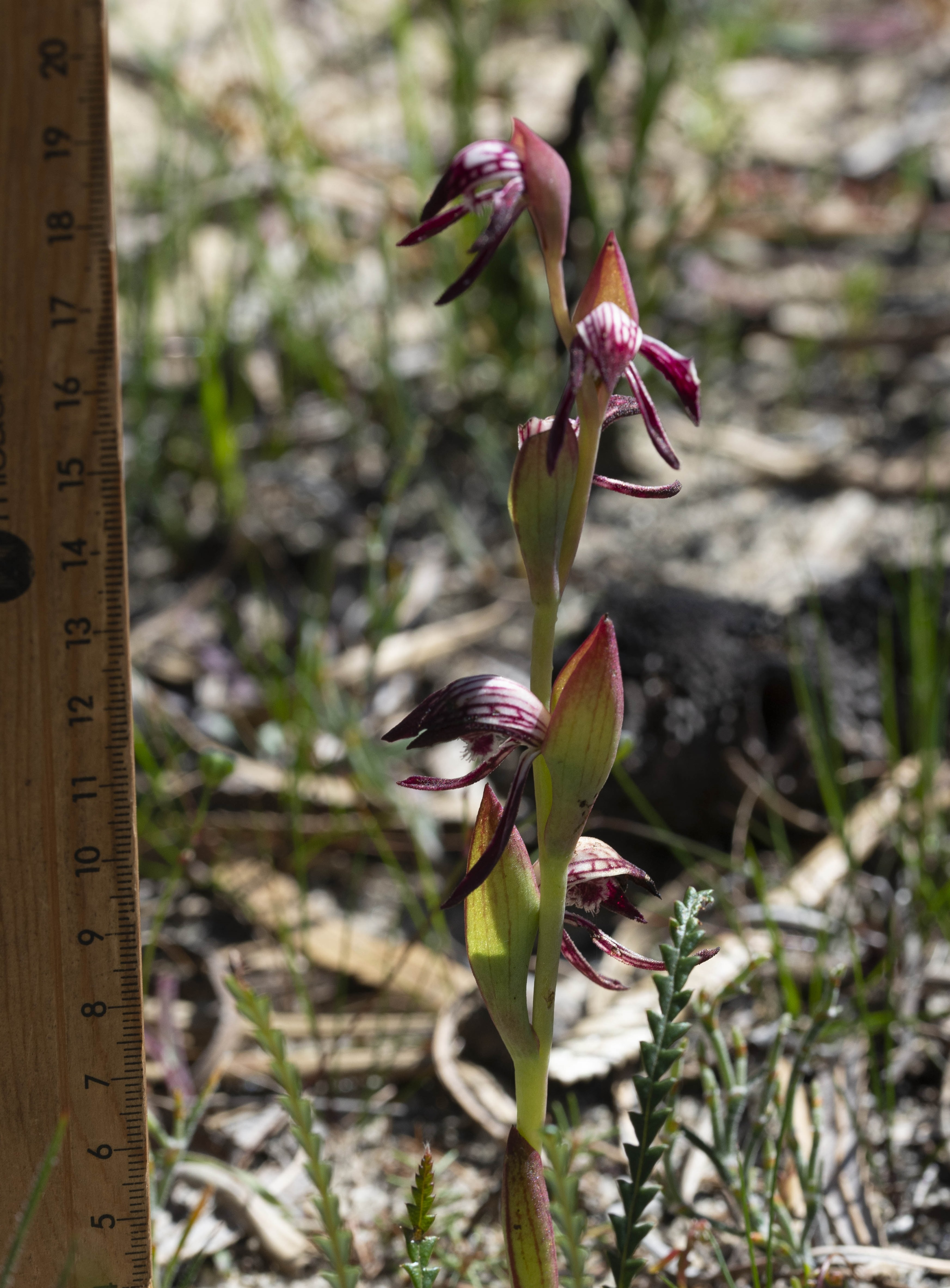 Pyrorchis nigricans plant