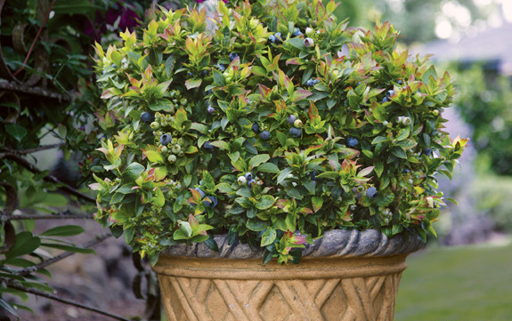 container blueberry